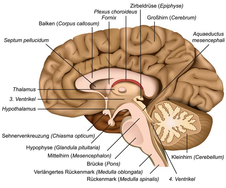 Querschnitt durch das menschliche Gehirn - im Zentrum die Zirbeldrüse
